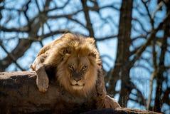 Het staren intens bij een Leeuw royalty-vrije stock foto