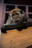 Het staren van de aap Royalty-vrije Stock Foto's