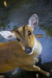 Het staren van de antilope royalty-vrije stock afbeelding