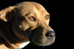 Het staren van de hond stock afbeelding