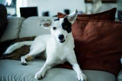 Het staren van de hond Royalty-vrije Stock Foto's