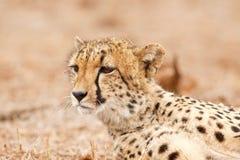 Het staren van de jachtluipaard Royalty-vrije Stock Foto