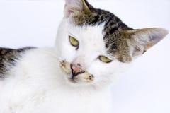 Het staren van de kat Stock Foto's