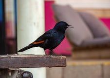 Het starling kwam en ging zitten op de bank aan stock foto's