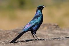 Het starling van Burchell Stock Fotografie