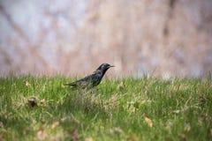 Het starling zit op een gebied onder het gras stock afbeelding