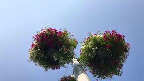 Het stedelijke groen maken - petuniabloemen in bloempotten op voorraad stock videobeelden