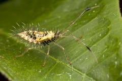 Het stekelige blad betaalde insectennimf (recenter stadium: de kant wedijvert Stock Foto's