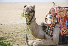 Het stellen kameel 1 Stock Foto