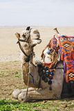 Het stellen kameel 2 Royalty-vrije Stock Fotografie