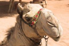 Het stellen kameel Royalty-vrije Stock Foto's