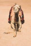 Het stellen kameel Stock Afbeelding