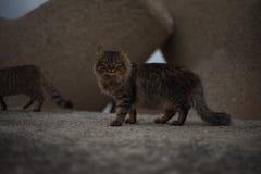 Het stellen kat Royalty-vrije Stock Fotografie