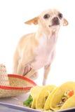 Het stellen van Chihuahua met taco's Royalty-vrije Stock Fotografie