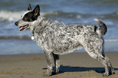 Het stellen van de hond door de Baai stock foto's