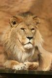 Het stellen van de leeuw Stock Foto's