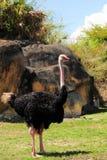 Het Stellen van de struisvogel Stock Foto
