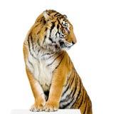 Het stellen van de tijger Royalty-vrije Stock Afbeelding