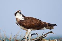 Het stellen van de visarend bij het nest Royalty-vrije Stock Foto's