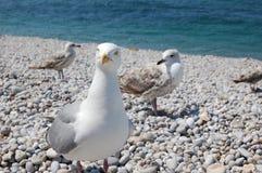 Het stellen van de zeemeeuw op het strand Royalty-vrije Stock Afbeelding