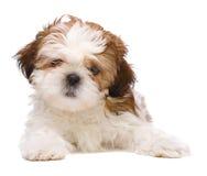 Het stellen van het puppy Royalty-vrije Stock Afbeelding