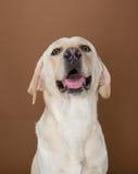 Het stellen van Labrador in een studio Stock Foto