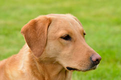 Het stellen Vos Rood Labrador stock afbeeldingen