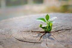 Het sterke zaailing groeien in de centrumboomstam van gesneden stompen boom, Concept de steunbouw een toekomstige nadruk op nieuw stock foto