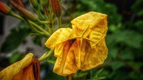 Het sterven bloem Royalty-vrije Stock Fotografie