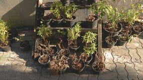 Het sterven Installatiesbloemen in Zwarte Plastic Planterspotten op Oud Houten Rek royalty-vrije stock fotografie