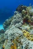 Het sterven koraalrif met vissen Royalty-vrije Stock Afbeeldingen