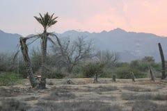 Het sterven Palmen in de Woestijn Royalty-vrije Stock Afbeeldingen