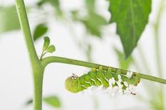 Het sterven tabak hornworm met Cotesia-congregatusparasieten Royalty-vrije Stock Afbeeldingen