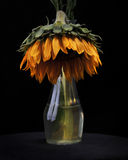 Het sterven Zonnebloem in Vaas Stock Foto's