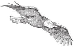 Het stijgen adelaar - schets Royalty-vrije Stock Foto's