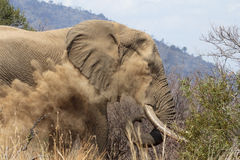 Het stofbad van de olifant Stock Foto