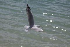 Het strand van Australië - van Queensland - Whitehaven-- Vliegende zeemeeuw, spre Stock Foto's