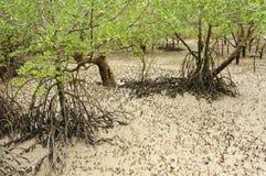 Het strand van de mangrove Royalty-vrije Stock Afbeeldingen