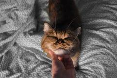 Het strelen van een exotische shorthair Perzische kat royalty-vrije stock afbeeldingen