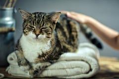 Het strijken van de kat royalty-vrije stock fotografie
