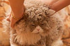 Het strijken van vacht van pluizige kat Stock Fotografie