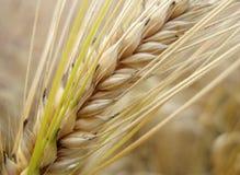 Het stro van het graan stock afbeelding