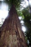 Het stromen zonlicht in de Californische sequoia's Royalty-vrije Stock Afbeelding