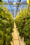 Het struikgewas van komkommer in de serre Royalty-vrije Stock Foto