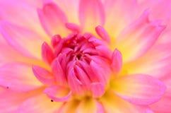 Het stuifmeel van de dahlia. Royalty-vrije Stock Fotografie