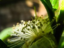 Het stuifmeel van de guavebloem in licht en loods in een zonnige dag wordt gevangen die stock foto