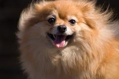 Het stuk speelgoed van Pomeranian Stock Afbeeldingen