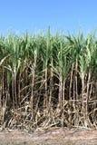 Het suikerriet, Suikerrietinstallaties groeit op gebied, de boomlandbouwbedrijf van het Aanplantingssuikerriet, Achtergrond van s Royalty-vrije Stock Fotografie