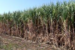 Het suikerriet, Suikerrietinstallaties groeit op gebied, de boomlandbouwbedrijf van het Aanplantingssuikerriet, Achtergrond van s Royalty-vrije Stock Foto's