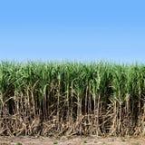 Het suikerriet, Suikerrietinstallaties groeit op gebied, de boomlandbouwbedrijf van het Aanplantingssuikerriet, Achtergrond van s Stock Afbeeldingen